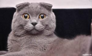 pisica scottish fold