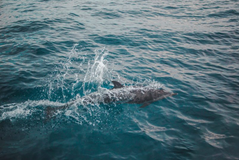 dolphins How to book a San Blas Islands boat tour bluesailing Sailing Koala X San Bas Adventures Colombia to Panama boat paradise islands caribbean kuna island