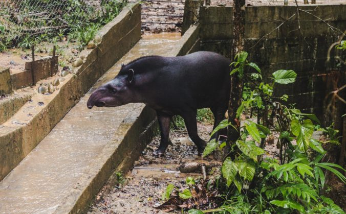 Amazoonica Animal Rescue Tapir Rio Napo