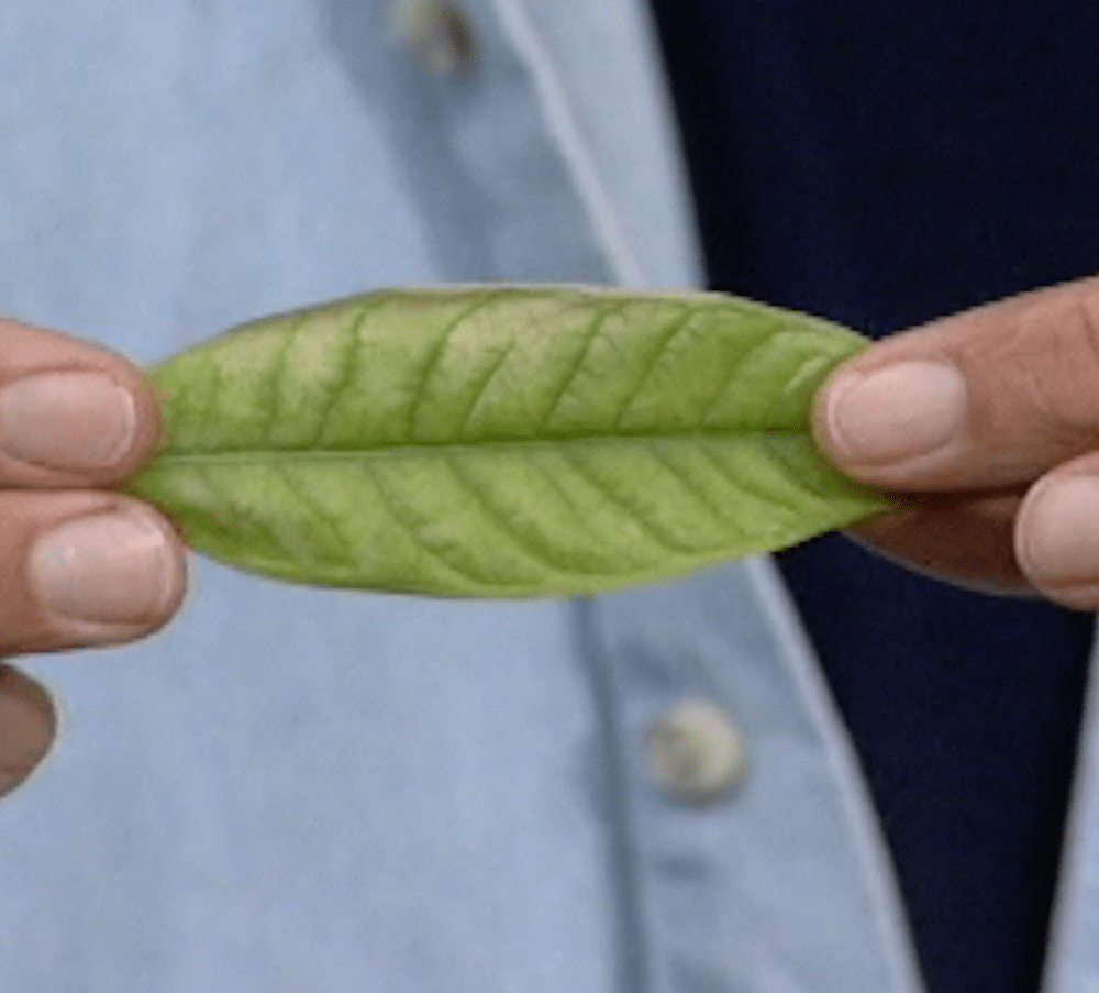 cure for chlorosis