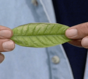 A Cure for Chlorosis 1