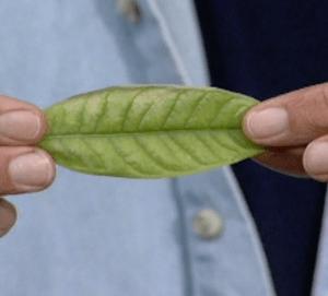 chlorosis leaf