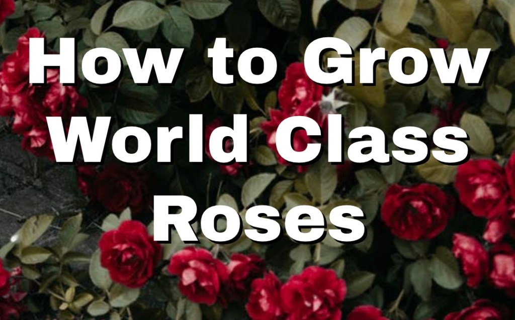 How to Grow World Class Roses 1