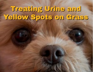 Treating Urine and Yellow Spots on Grass 1