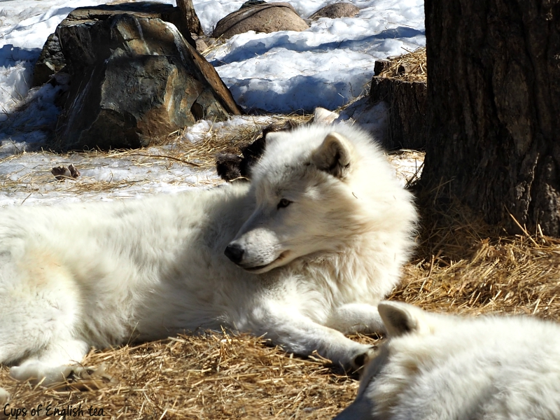 Ely Minnesota Wolf Center