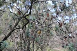Bushland in Cleland Conservation Park