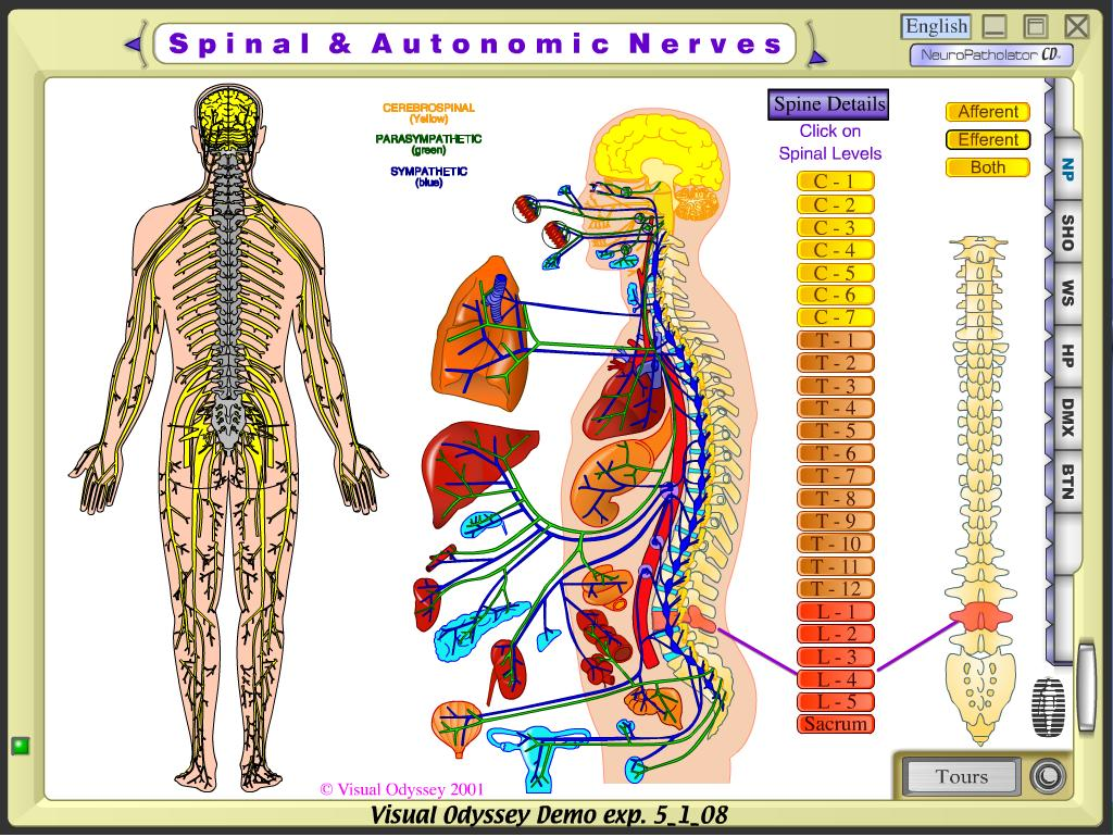 lumbar spinal nerves diagram mccb wiring home cure for dystonia page 2