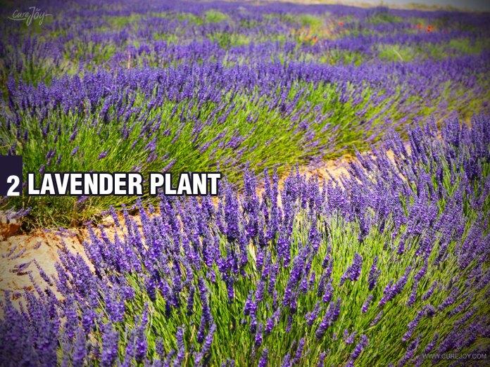 2-Lavender-Plant