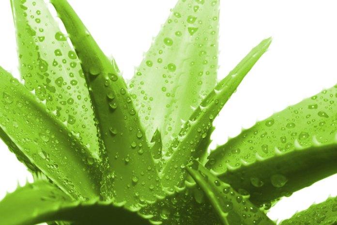 aloe vera: herbs for diabetes