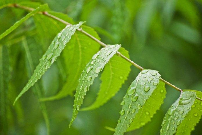 neem: herbs for diabetes