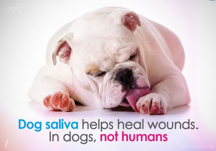 1-dog-saliva-helps-heal-wounds