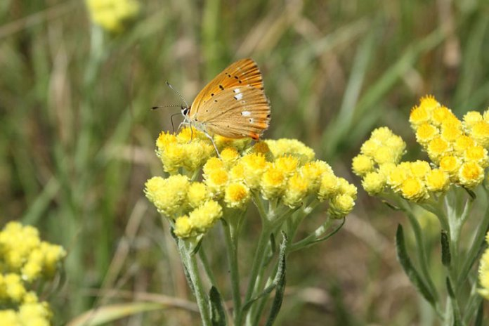Helichrysum Calms Down Allergic Reactions