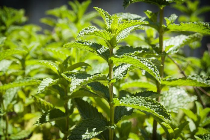 Peppermint Calms Down Allergic Reactions