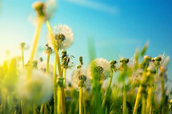Dandelion Helps Get Rid Of Cellulite