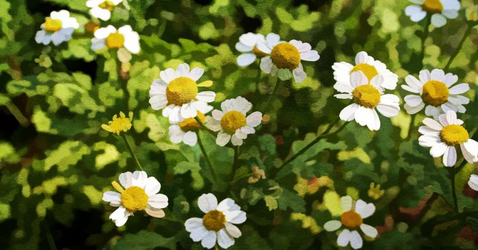 Amazing Ways Feverfew Can Benefit Your Health