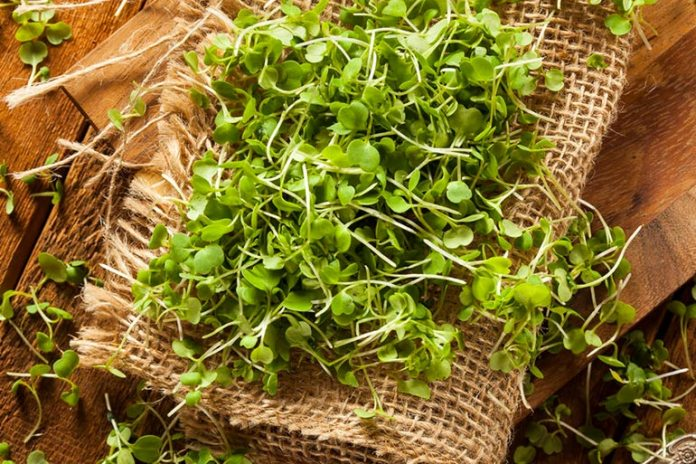 Herb alfafa is used to treat anemia and purify blood
