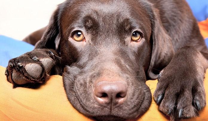 symptoms of dehydration in dogs Sunken Eyes