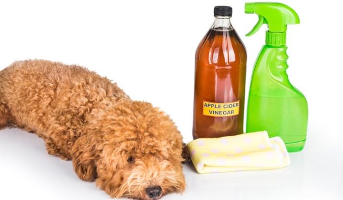 Apple Cider Vinegar Can Prevent Flea Entry