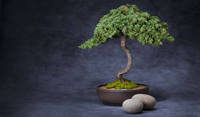 bonsai plants are not good for allergy