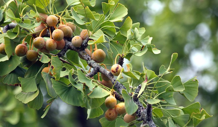 gingko biloba helps with aging-related problems