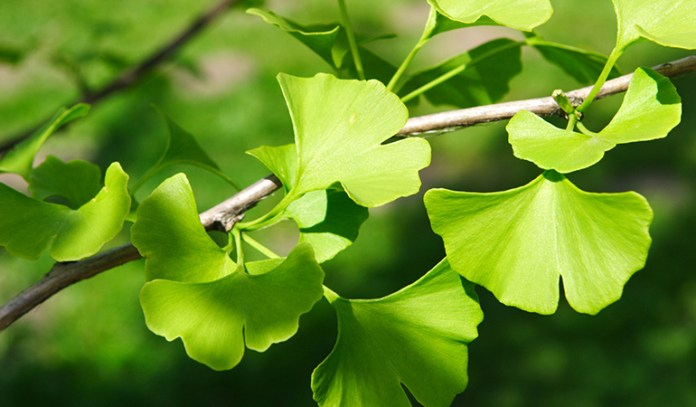 The ginkgo leaf is a herbal remedy for alopecia that increases hair growth.
