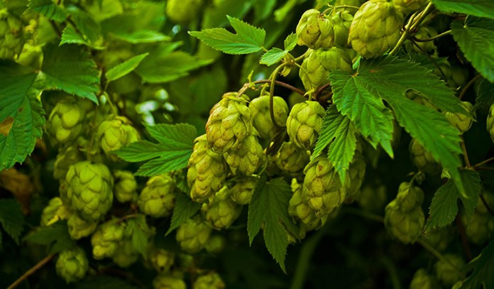 Hops Compounds Prevent Cancer Cell Growth In Mammary Cells
