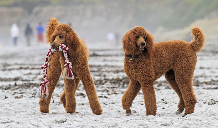 healthy dogs: poodles