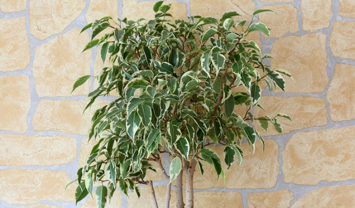 weeping fig sap can cause allergy like latex
