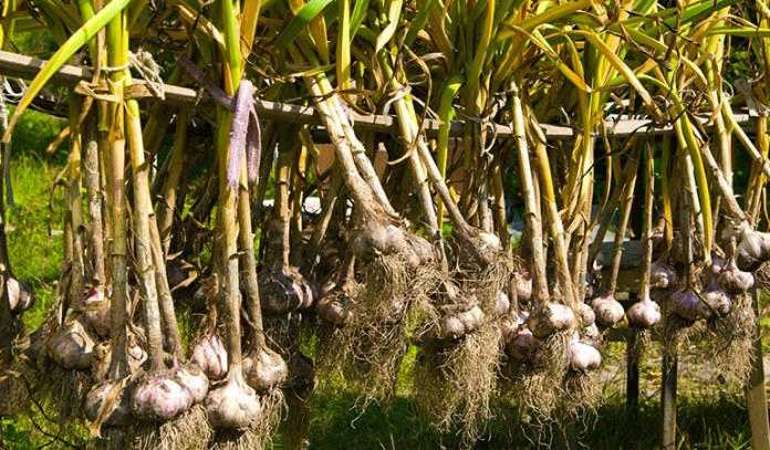 Chinese garlic comes bleached with chlorine, and laden with methyl bromide, lead, and sulfites.
