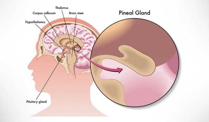 melatonin from pineal gland regulates sleep-wake cycle