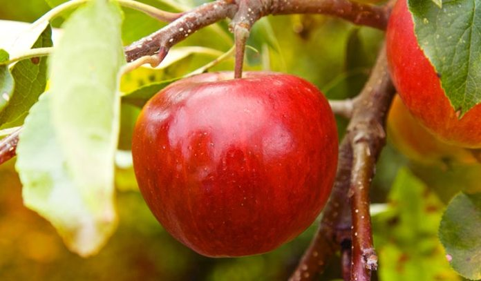 Apple neutralizes the effects of uric acid)