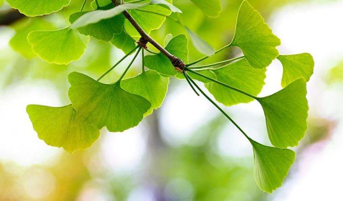 Gingko biloba increases energy and improves brain function)