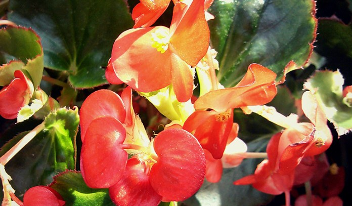 Begonias do well in almost any setting