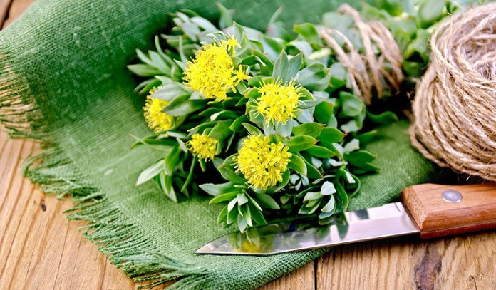 Rhodiola can improve your cognitive health