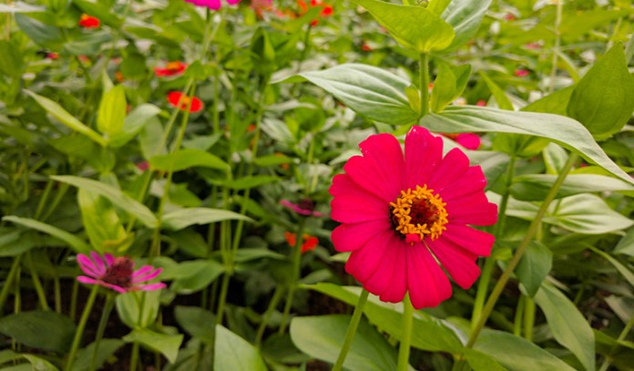 Zinnias come in many colors