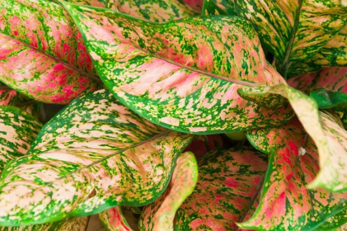 Aglaonema can survive in poorly ventilated rooms.