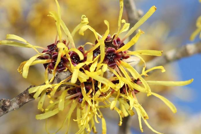 Witch hazel helps heal the infected lip.