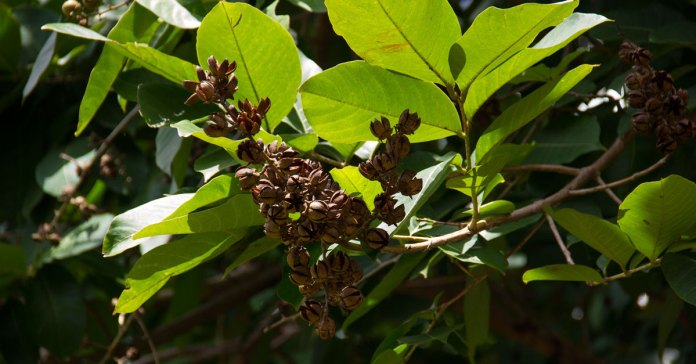 Banaba leaves have great benefits