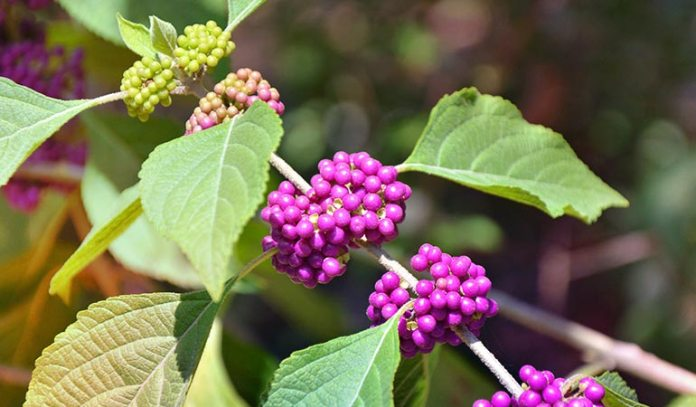 Beautyberry Naturally Repels Ticks