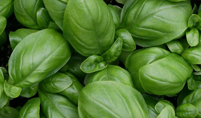 Basil and mint make great partners, lending this drink a refreshing flavor while packing a powerful nutrient-rich punch.
