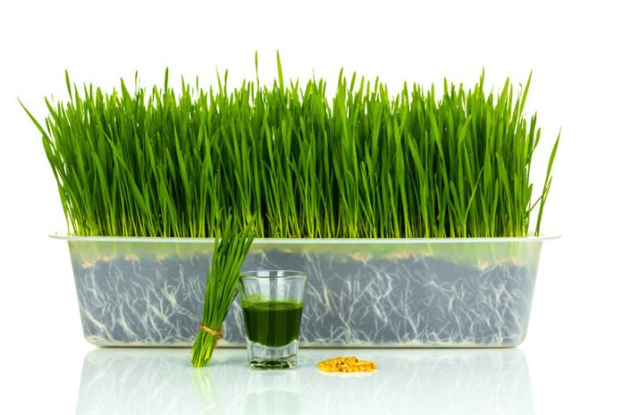 Wheatgrass has chlorophyll which reduces body odor.