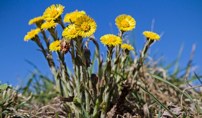 Coltsfoot in supplements is linked to liver damage
