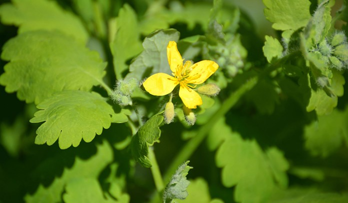 Greater celandine belongs to the poppy family and is used in supplements that treat stomachaches