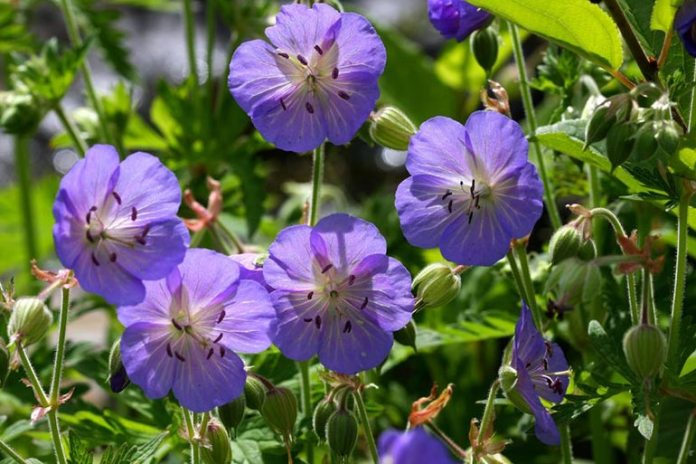 Wild Geranium Is Effective In Treating Diarrhea