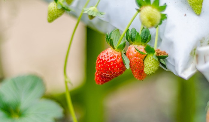 Strawberries only have 7.43 grams of sugar.