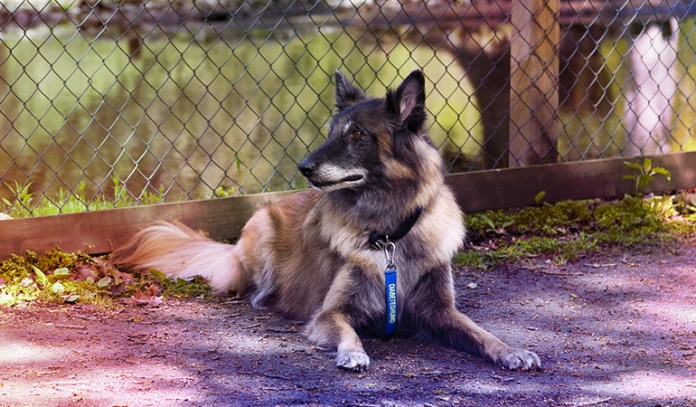 Some Dogs Have Been Trained To Detect Hypoglycemia In Diabetic Individuals