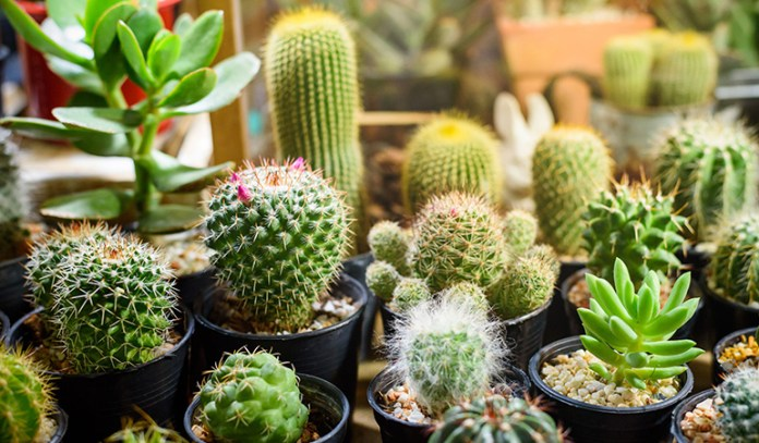 Cactus and succulent plants don't require much watering and need dry, porous soil
