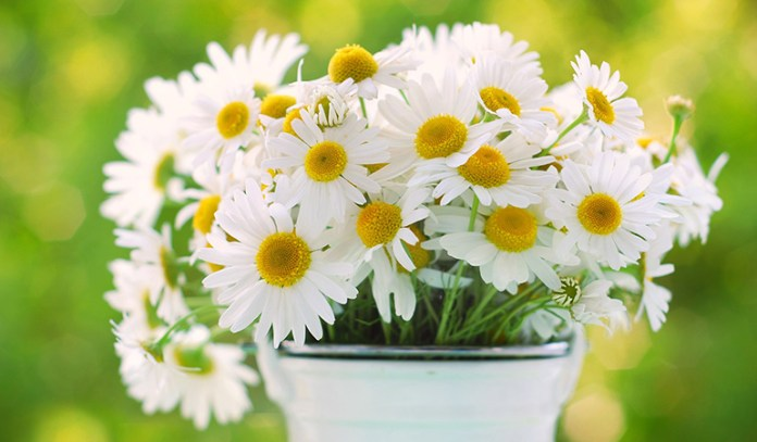 Chamomile can calm anxiety