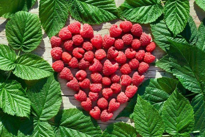 Red raspberry leaf has astringent properties that help treat throat polyps