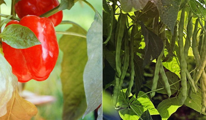 Beans and peppers are both susceptible to anthracnose